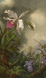 Art Prints of White Orchid and Hummingbird by Martin Johnson Heade