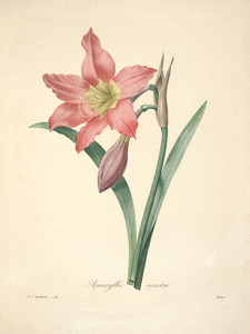 Art Prints of Amaryllis, Plate 64 by Pierre-Joseph Redoute