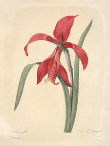 Art Prints of Amaryllis, Plate 10 by Pierre-Joseph Redoute