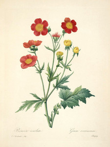 Art Prints of Avens, Plate 67 by Pierre-Joseph Redoute