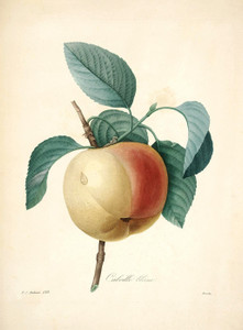 Art Prints of Calville Apple, Plate 140 by Pierre-Joseph Redoute