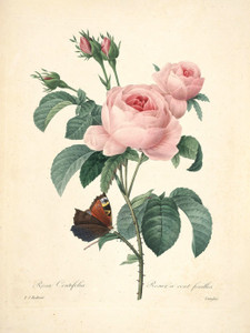 Art Prints of Centifolia Rose, Plate 139 by Pierre-Joseph Redoute