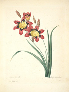 Art Prints of Corn Lily, Plate 48 by Pierre-Joseph Redoute