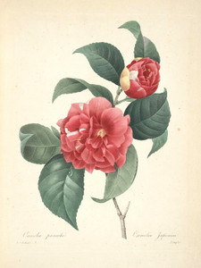Art Prints of Common Camellia, Plate 12 by Pierre-Joseph Redoute