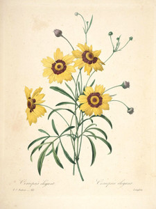 Art Prints of Coreopsis or Tickseed, Plate 114 by Pierre-Joseph Redoute