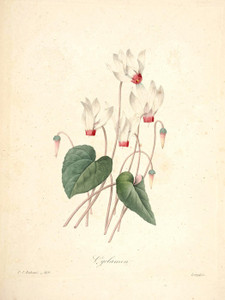 Art Prints of Cyclamen, Plate 122 by Pierre-Joseph Redoute