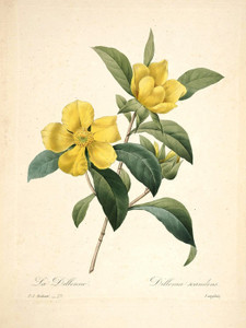 Art Prints of Dillenia, Plate 80 by Pierre-Joseph Redoute