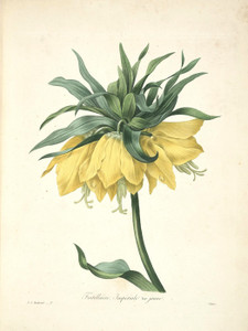 Art Prints of Fritillaria Imperialis, Plate 5 by Pierre-Joseph Redoute