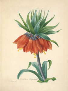 Art Prints of Fritillaire, Plate 62 by Pierre-Joseph Redoute