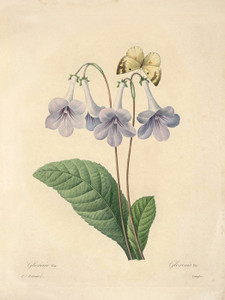 Art Prints of Gloxinia, Plate 9 by Pierre-Joseph Redoute