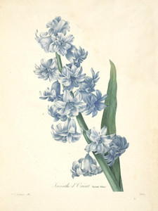 Art Prints of Hyacinth, Plate 14 by Pierre-Joseph Redoute