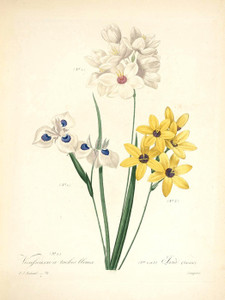 Art Prints of Ixia, Plate 75 by Pierre-Joseph Redoute