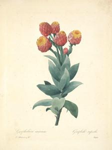 Art Prints of Milkweed, Plate 50 by Pierre-Joseph Redoute
