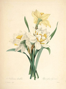 Art Prints of Narcissus, Plate 116 by Pierre-Joseph Redoute