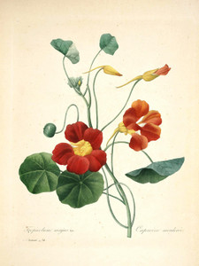 Art Prints of Nasturtium, Plate 77 by Pierre-Joseph Redoute