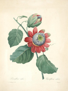 Art Prints of Passion-Flower, Plate 43 by Pierre-Joseph Redoute