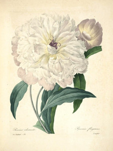 Art Prints of Peony, Plate 25 by Pierre-Joseph Redoute
