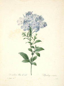 Art Prints of Plumbago or Leadwort, Plate 17 by Pierre-Joseph Redoute