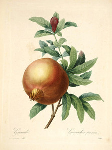 Art Prints of Pomegranate, Plate 85 by Pierre-Joseph Redoute