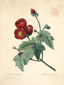 Art Prints of Purple Mallow, Plate 96 by Pierre-Joseph Redoute
