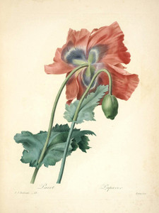 Art Prints of Poppy, Plate 16 by Pierre-Joseph Redoute