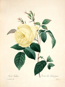 Art Prints of Rose Indica, Plate 84 by Pierre-Joseph Redoute