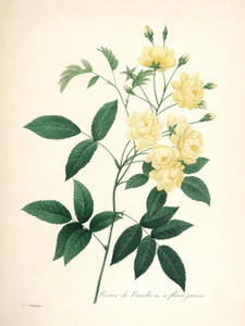 Art Prints of Rose of Bancks, Plate 119 by Pierre-Joseph Redoute