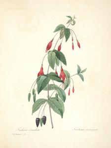 Art Prints of Scarlet Fuchsia, Plate 30 by Pierre-Joseph Redoute