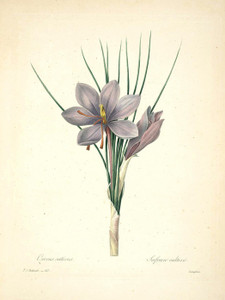 Art Prints of Saffron Crocus, Plate 66 by Pierre-Joseph Redoute