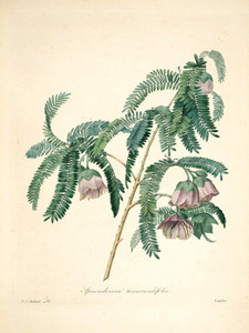 Art Prints of Tamarind, Plate 79 by Pierre-Joseph Redoute