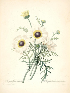 Art Prints of Tricolor Daisy, Plate 133 by Pierre-Joseph Redoute