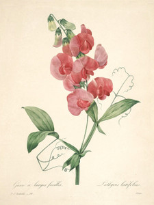 Art Prints of Sweet Pea, Plate 101 by Pierre-Joseph Redoute