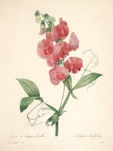 Art Prints of Sweet Pea, Plate 101 by Pierre-Joseph Redoute
