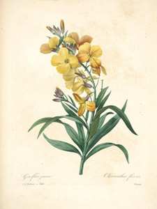 Art Prints of Wallflower, Plate 146 by Pierre-Joseph Redoute