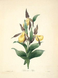 Art Prints of Yellow Ladyslipper, Plate 69 by Pierre-Joseph Redoute