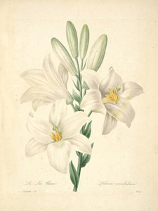 Art Prints of White Lily, Plate 18 by Pierre-Joseph Redoute