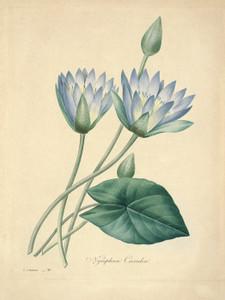 Art Prints of Blue Lotus, Plate 43 by Pierre-Joseph Redoute