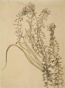 Art Prints of Tassel Hyacinth by Vincent Van Gogh