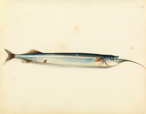 Art Prints of Garfish by W. B. Gould