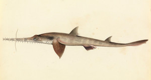 Art Prints of Longnose Saw Shark by W. B. Gould