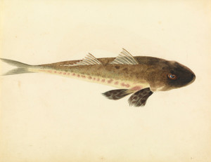 Art Prints of Flathead by W. B. Gould