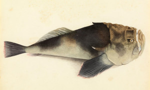 Art Prints of Stargazer Fish by W. B. Gould