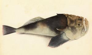Art Prints of Stargazer Fish by W. B. Gould