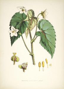 Art Prints of Begonia Cathcarti by Walter Hood Fitch