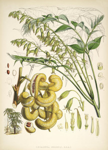 Art Prints of Decaisnea Insignis by Walter Hood Fitch