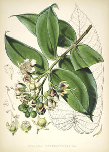 Art Prints of Duabanga Grandiflora by Walter Hood Fitch