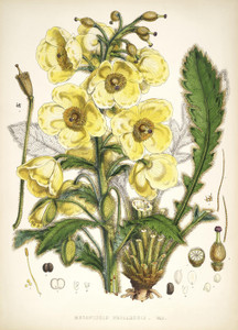 Art Prints of Meconopsis Nepalensis by Walter Hood Fitch