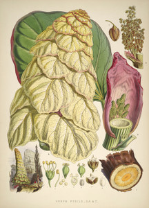 Art Prints of Rheum Nobile or Giant Rhubarb by Walter Hood Fitch