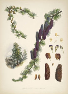 Art Prints of Sikkim Larch by Walter Hood Fitch