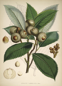 Art Prints of Quercus Lamellosa or Acorn by Walter Hood Fitch